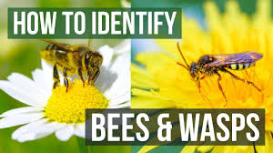 Wasp Identification Chart Bee Or Wasp How To Identify Bees And Wasps