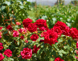 Garden Centre Kitchener Buy Knock Out Rose Shrub Rose Rose In Kitchener Waterloogreenway