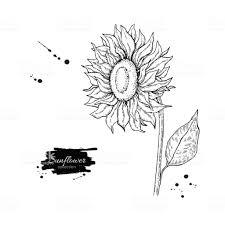 ひまわりの花のベクトル図面します手描きイラストは白い背景で隔離 アイコンのベクターアート素材や画像を