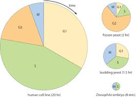 Cell Cycle Pie Chart How Long Do The Different Stages Of The Cell Cycle Take