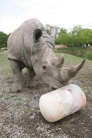 rhino enrichment enrichment dublin zoo enrichment ideas s dublin zoo and zoo s