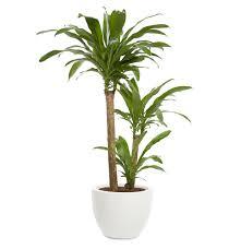 Tropical office plants Desk Dracaena dracaena Fragrans Acorn Plant Displays Office Plants You Wont Kill Real Simple