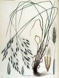 Bromus arvensis - Wikipedia, la enciclopedia libre