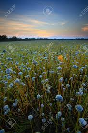 Flower field sunset Beautiful Flower Field Before Sunset Field Of Flowers Thailand Stock Photo 25316880 123rfcom Flower Field Before Sunset Field Of Flowers Thailand Stock Photo