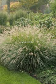 Picture And Description Of Pennisetum Alopecuroides Hameln