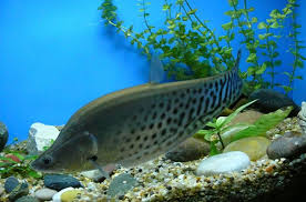 Black Ghost Knife Fish Compatibility Chart Knifefish