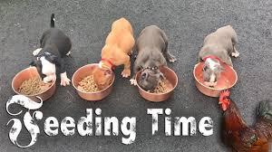 American Bully Feeding Time Youtube