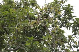 19 Best Champion Trees Images On Pinterest  Kansas Climbing And Fruit Trees In Kansas