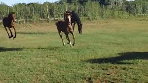 baby horses playing. Modren Baby Baby Horses Playing And Horses Playing U