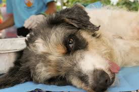 Benign Tumors In Dogs Symptoms Causes Diagnosis Treatment