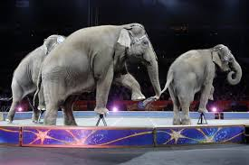 nowhere left to run away to the final days of the circus file in this 1 2016 file photo asian elephants perform for the final time in the ringling bros and barnum bailey circus in providence
