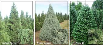 Choose: Leyland Cypress. Most popular and sought after tree on Southern Christmas  tree farms.