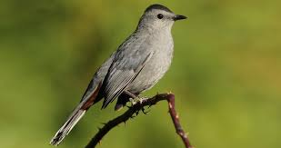 Catbird Ring Size Chart Gray Catbird Identification All About Birds Cornell Lab Of
