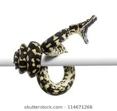 snake mouth profile. Perfect Profile Jungle Carpet Python Attacking Morelia Spilota Cheynei Against White  Background And Snake Mouth Profile O