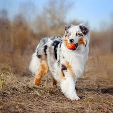 Australian Shepherd Size Chart 40 Best Medium Sized Dog Breeds List Of Popular Cute