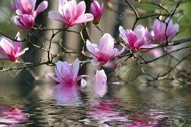 """Résultat de recherche d'images pour """"paysage de magnolias"""""""