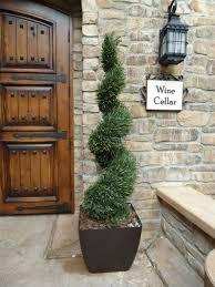 astonishing front door spiral topiary plants
