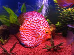 Resultado de imagen para discos peces