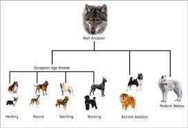 Canine Evolution Chart 18 Judicious Dog Taxonomy Chart