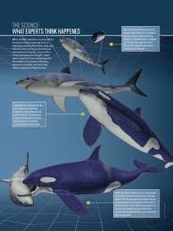 killer whale vs great white shark size comparison. Exellent Comparison Also If We Look At The Statistics Killer Whales Are Faster Smarter  Larger And Have A Larger Bite Force And Killer Whale Vs Great White Shark Size Comparison R