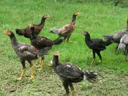 ผลการค้นหารูปภาพสำหรับ ภาพไก่