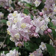 Image result for deutzia