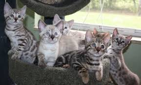 snow bengal cat. Perfect Snow Brown Rosetted Bengal Kittens And Snow Playing In Snow Bengal Cat
