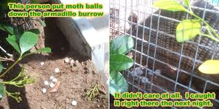 getting rid of groundhogs mothballs.  Groundhogs Armadillo Repellent Analysis For Getting Rid Of Groundhogs Mothballs G