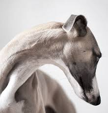 Small Picture 80 best Greyhounds and Friends images on Pinterest Animals