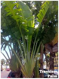 Travelers Palm: a dramatic privacy screen for a tropical look in a narrow  space.