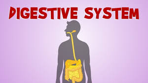 Image result for digestive system diagram
