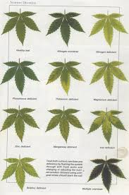 Cannabis Leaf Diagnosis Chart Bedowntowndaytona Com