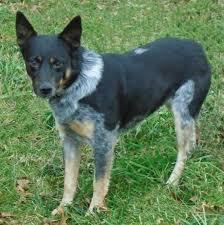 australian cattle dog blue heeler dogs for adoption in heath ohio