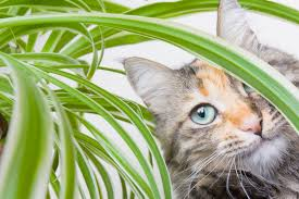 are spider plants poisonous to cats and dogs