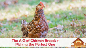 Different Types Of Chickens Chart The A Z Of Chicken Breeds And Choosing The Perfect One