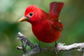 picture of red bird. Plain Red Summer Tanager Inside Picture Of Red Bird O