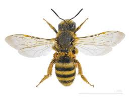 Bee And Wasp Identification Chart Uk Halictidae Wikipedia