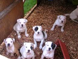 black and white american bulldog puppies. American Bulldog Puppies Black And White AMERICAN BULLDOG PUPPIES Animals Bull Girl For