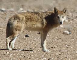 Tibetan <b>wolf</b> - Wikipedia