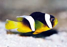 black and yellow clown fish. Fine Black Family PomacentridaeSave Sebae Clownfish With Black And Yellow Clown Fish A