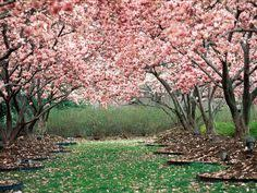 cherry blossoms in spring cherry blossoms blossom trees sakura cherry blossom cherry blossom