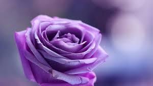 Purple Flowers Backgrounds Purple Rose Backgrounds Hd Wallpapers Wallpaper