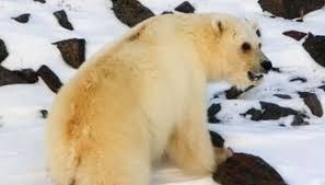 grolar bear size grolar bears 11 amazing hybrid animals mnn mother nature network