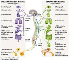 Diaphragmatic Breathing Is The Key To Your Autonomic Nervous