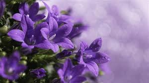 Purple Flowers Backgrounds Purple Flower White Background Wallpapersafari Purple