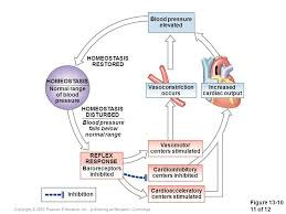 The Cardiovascular System Blood Vessels And Circulation