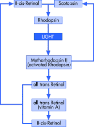 Visual Cycle Flow Chart Perceiving Light Howstuffworks