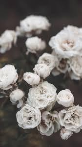 Aesthetic White Rose Background : Rose ...