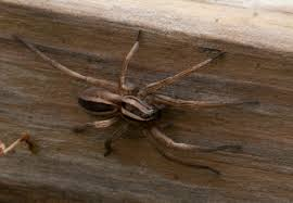 Creature Feature: Rabid Wolf Spider (Rabidosa rabida) | College ...