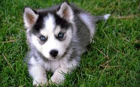 cute baby husky wallpaper. Fine Husky Husky Wallpapers  Full HD Wallpaper Search On Cute Baby Wallpaper Pinterest